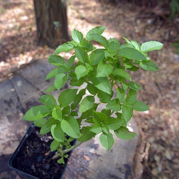 pepinsproduction_plante_basilic-marseillais