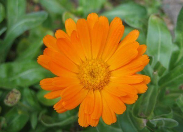 calendula-officinalis-fleur-600x450